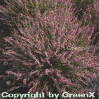 10x Besenheide Marlies - Calluna vulgaris - Vorschau