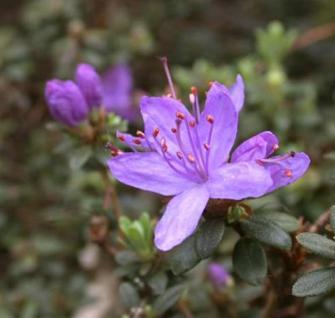 Zwerg Rhododendron Buchlovice 30-40cm - Rhododendron impeditum - Zwerg Alpenrose - Vorschau