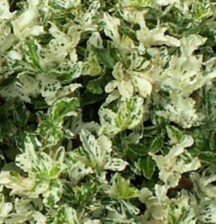 10x Kriechspindel Harlequin 10-15cm - Euonymus fortunei - Vorschau