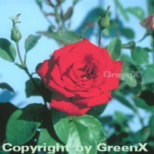 Hochstamm Rose Erotika® 60-80cm - Vorschau