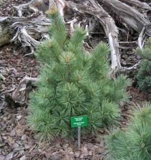 Die Zwergseidenkiefer Macopin 25-30cm - Pinus strobus - Vorschau