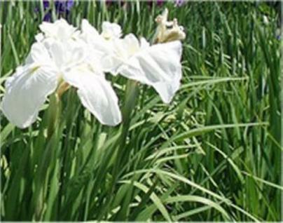 Japanische Sumpf Schwertlilie Diamant - Iris ensata - Vorschau