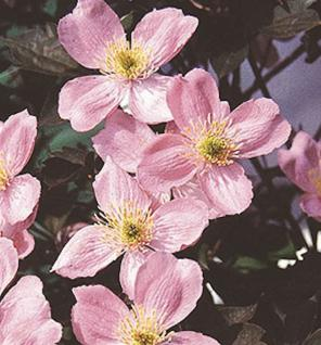 Berg Waldrebe Fragrant Spring 40-60cm - Clematis montana