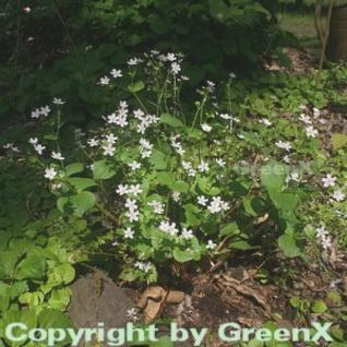 Sibirisches Tellerkraut - Montia sibirica - Vorschau