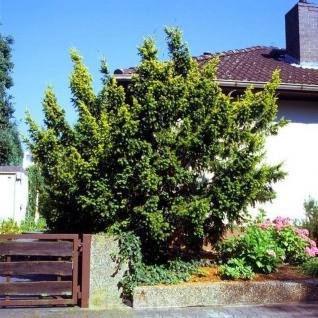 Gold Eibe Elegantissima 60-80cm - Taxus baccata Elegantissima - Vorschau