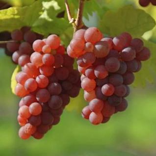 Weinrebe Suffolk Red 80-100cm - Vitis - Vorschau