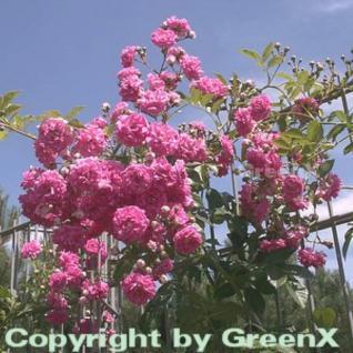 Hochstamm Rose Super Dorothy® 60-80cm - Vorschau