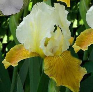 Schwertlilie Pinnacle - Iris barbata - Vorschau