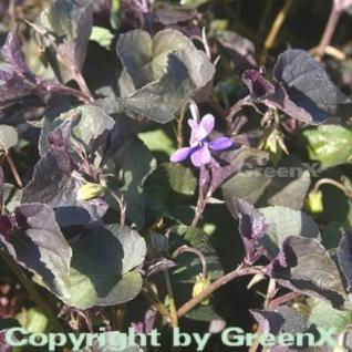 Grönland Veilchen - Viola labradorica - Vorschau