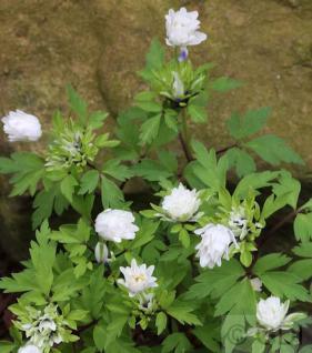 Buschwindröschen Alba Plena - Anemone nemorosa - Vorschau