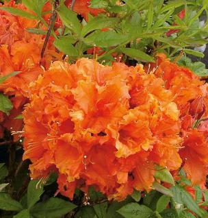 Azalee Gibraltar 30-40cm - Rhododendron luteum - Alpenrose - Vorschau