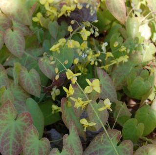 Elfenblume Lichtenfels - Epimedium perralchicum - Vorschau