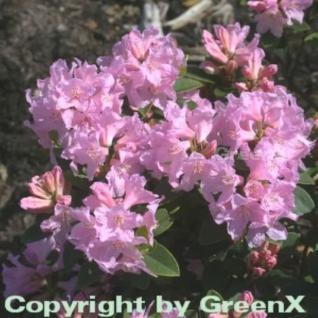 Rostblättrige Alpenrose Tottenham 30-40cm - Rhododendron ferrugineum - Vorschau