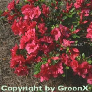 Japanische Azalee Muttertag 20-25cm - Rhododendron obtusum - Zwerg Alpenrose - Vorschau