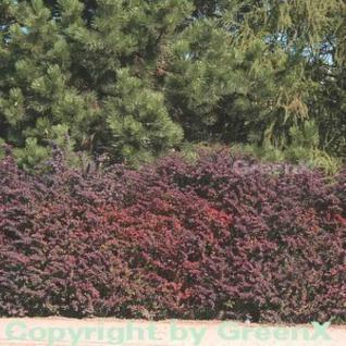 Rote Heckenbeberitze 25-30cm - Berberis thunbergii Atropurpurea - Vorschau
