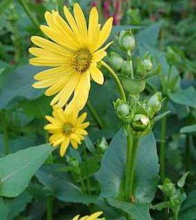 Becherpflanze - Silphium perfoliatum - Vorschau