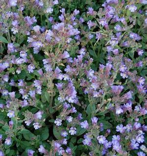 Garten Schein Löwenmaul Blue Dream - Chaenarrhinum origanifolium - Vorschau