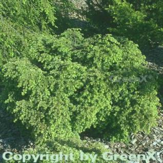 Kanadische Zwerg Hemlocktanne 15-20cm - Tsuga canadensis - Vorschau
