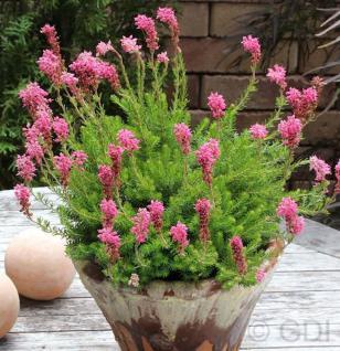10x Ährenheide Balkan Rose - Bruckenthalia spiculifolia - Vorschau