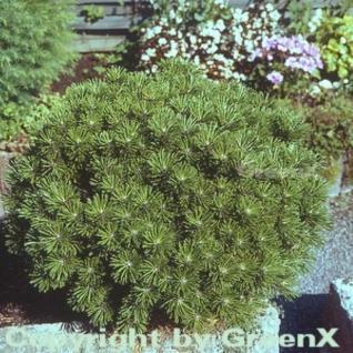 Kugelkiefer Mops 10-15cm - Pinus mugo - Vorschau