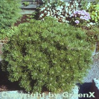 Kugelkiefer Mops 30-40cm - Pinus mugo - Vorschau