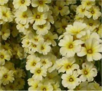 Große Binsenlilie Variegatum - Sisyrinchium striatum - Vorschau