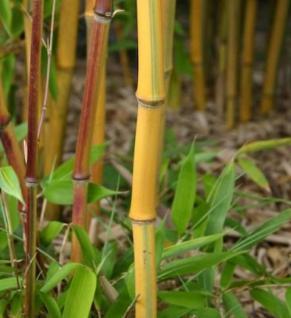 Gelbrinnen Bambus Spectabilis 100-125cm - Phyllostachys aureosulcata - Vorschau