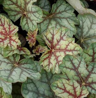 Purpurglöckchen Green Spice - Heuchera americana - Vorschau