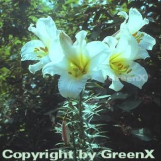 Königslilie - Lilium regale - Vorschau
