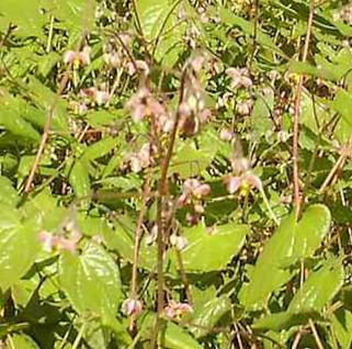 Cambridge Elfenblume - Epimedium cantabrigiense - Vorschau
