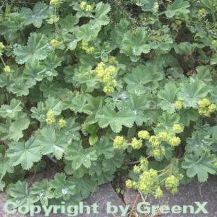Frauenmantel gelb - Alchemilla erythropodea - Vorschau
