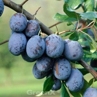 Pflaume President 60-80cm - Prunus domestica - Vorschau