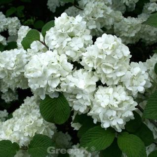 Japanischer Schneeball Summer Snowflake 30-40cm - Viburnum plicatum - Vorschau