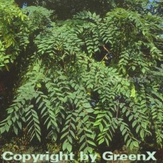 Geweihbaum 60-80cm - Gymnocladus dioicus - Vorschau