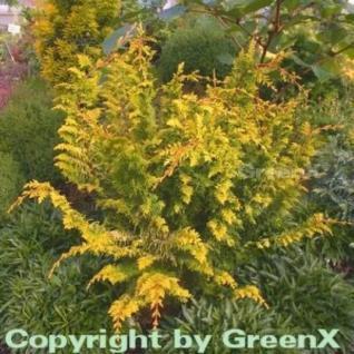 Hinoki Zypresse Fernspray Gold 20-25cm - Chamaecyparis obtusa - Vorschau