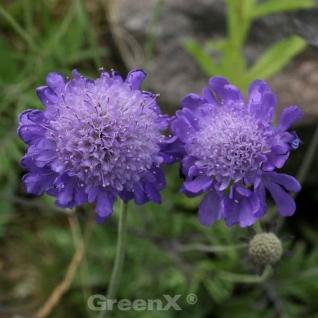 Japanische Skabiose Blue Note - Scabiosa japonica - Vorschau