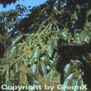 Lotuspflaume 60-80cm - Diospyros lotus - Vorschau