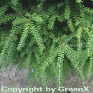 Nordjapanische Hemlocktanne Minikin 15-20cm - Tsuga diversifolia - Vorschau