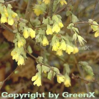 Niedrige Scheinhasel 30-40cm - Corylopsis pauciflora - Vorschau