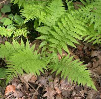 Wald Frauenfarn - großer Topf - Athyrium filix femina - Vorschau