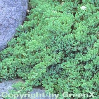 Japanischer Kriechwacholder 20-25cm - Juniperus procumbens - Vorschau