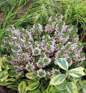 10x Cornwallheide Kervernensis Alba - Erica vagans - Vorschau