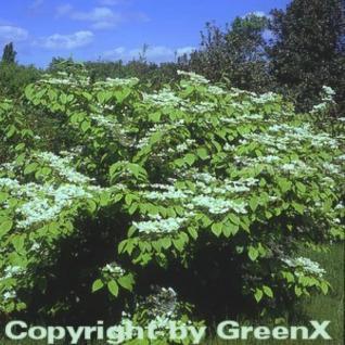 Etagen Schneeball Mariesii 60-80cm - Viburnum plicatum - Vorschau