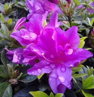 Kriechende Immergrüne Zwerg Azalee Galapagos 15-20cm - Rhododendron nakaharai - Vorschau
