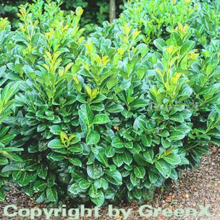 Lorbeerkirsche Etna® 40-60cm - Prunus laurocerasus - Vorschau