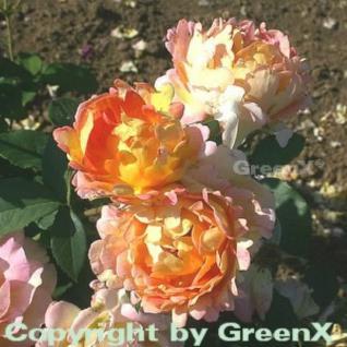 Malerrose Rose de Cisterciens® 30-60cm - Vorschau