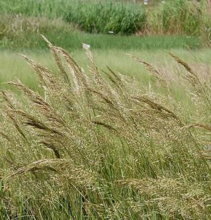 Silberährengras Lemperg - Achnatherum calamagrostis - Vorschau