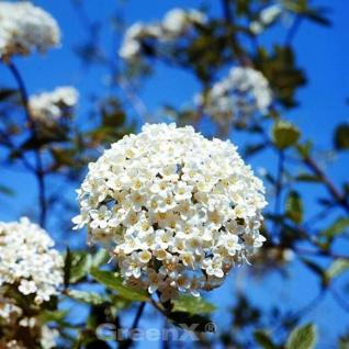 Osterschneeball Conoy 30-40cm - Viburnum burkwoodii - Vorschau
