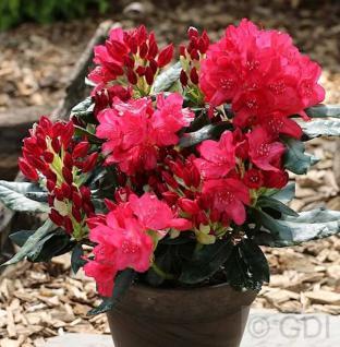 Großblumige Rhododendron Anna Rose Whitney 40-50cm - Alpenrose - Vorschau