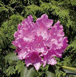 Großblumige Rhododendron Englisch Roseum 30-40cm - Alpenrose - Vorschau